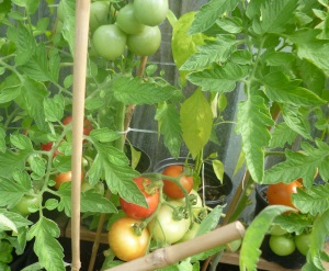 tomatoes and chilli plants in the cave